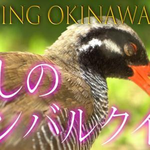 ヤンバルクイナのクー太くん【ヤンバルクイナ生態展示学習施設「クイナの森」】
