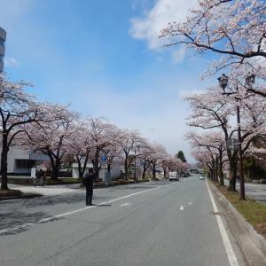 山形市霞城公園の桜