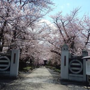 山形市鉄砲町光禅寺の桜です