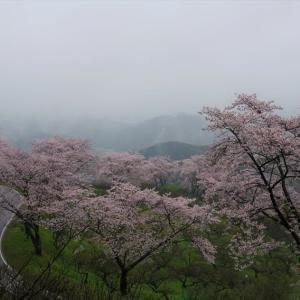 人吉梅園の桜
