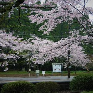 大畑駅の桜