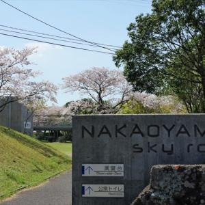 中尾山・満開の桜