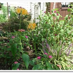 ◆リコリスの花