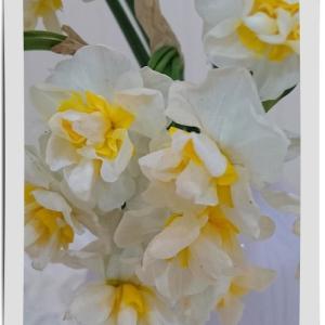 ◆香り立つスイセンの花