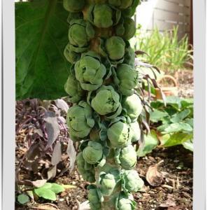 ◆面白い形!芽キャベツの収穫