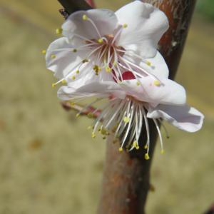 ◆期待大の梅の木、豊後(^^)✫