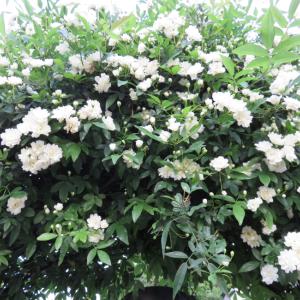 ◆白い花咲く春の庭