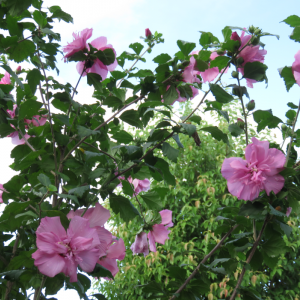 ◆元気なムクゲの花
