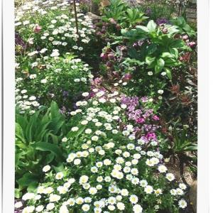 ◆こぼれ種の花たちが満開!