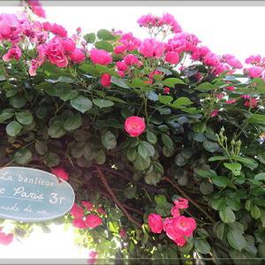 ◆薔薇の季節です♪