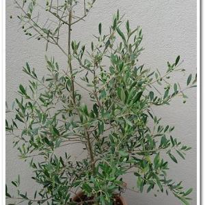 ◆ナチュラルなオリーブの木に、待望の実が!!