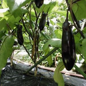 家庭菜園の夏野菜 なすび  ピーマン キュウリ。。。。