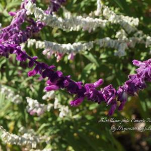 紫 ゆらゆら