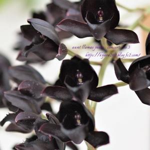 可憐に黒花