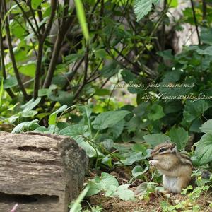 縞栗鼠 1
