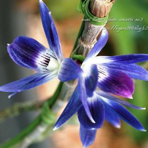 青紫のデンドロビューム