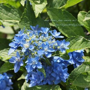 額紫陽花(八重咲・青)