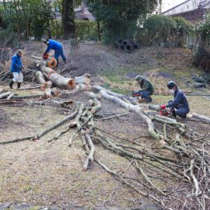 花粉がきつい中、ケヤキ大木の薪狩りしました