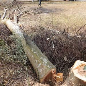 ケヤキの木 一本見に行きました