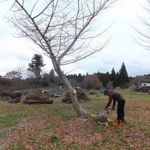 7年越しの銀杏の木の伐採 完了しました