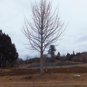 大きな銀杏の木の伐採、お疲れ様でした