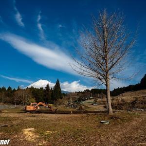 新年に大きな雄の銀杏の木も