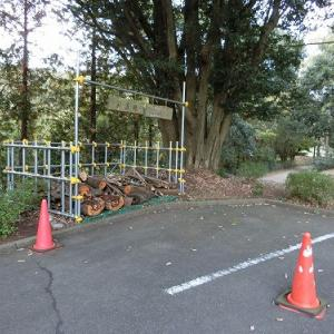 公園の薪置き場に桜の木がありますね