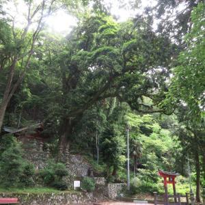 井出八幡神社のタブの木