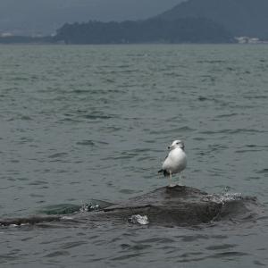 ウミネコ(若鳥かな)