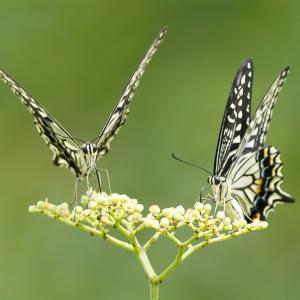 ノブドウに集まる昆虫