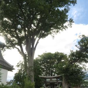 熊野神社のケヤキ