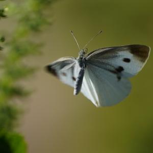 アオジソに来る蜂と蝶