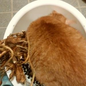 黒豆剥きを邪魔する猫