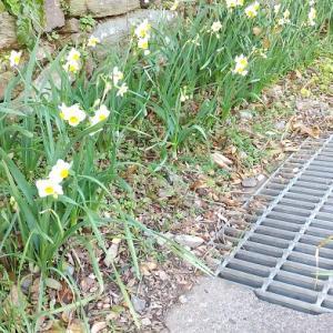 春の花は黄色 にゃん