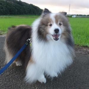 早朝の田んぼ散歩・イナカなポロたん♪