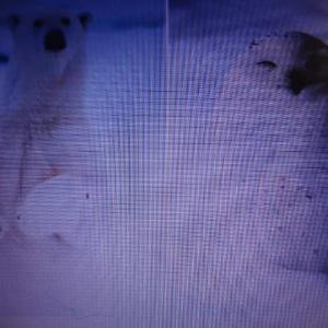 素晴らしい北極圏の生き物たち      四つ足 生き物 住みにくく