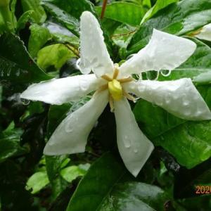 クチナシの白い花季節来ました