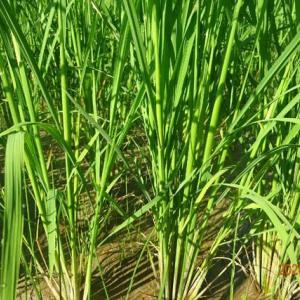 久しぶりのお日様 稲 見ると妊娠してる9月は刈り取りかな