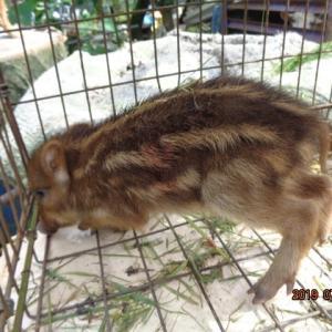 野生イノシシ子犬 押さえました 殺す簡単 ねー可愛そう 生き物 命 ねーー