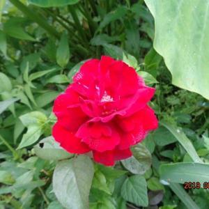 バラが咲いたバラが咲いた 真っ赤な バラが-ーーーーオオーーイクラ