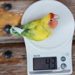 帝王、体重測定
