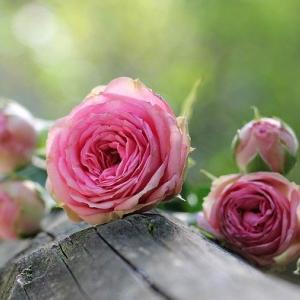 薔薇が美しい華やいだ季節