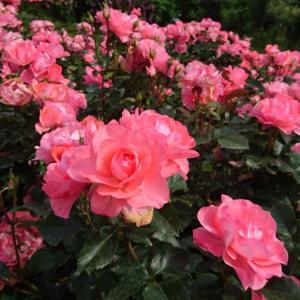 心地良い風とバラの香り / 今年初の車旅