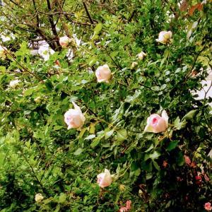 薔薇が一斉に咲きだして華やかな気分でピアノ