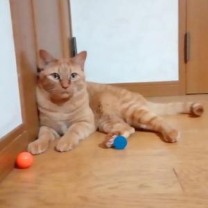 スーパーボールで ハイパーエイト 猫動画