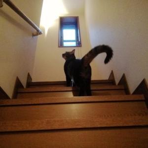 階段で 持ってこい遊び 猫動画