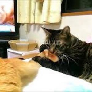 シッポジャラシ 猫動画
