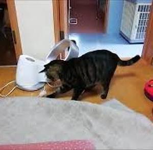 テンションあがって 何度もブツカル 猫動画