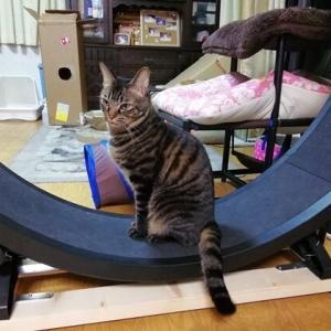 ホイール練習 やる気ない~~ 猫動画