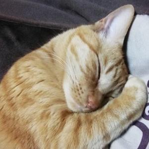 コタツ布団 モミモミ 猫動画